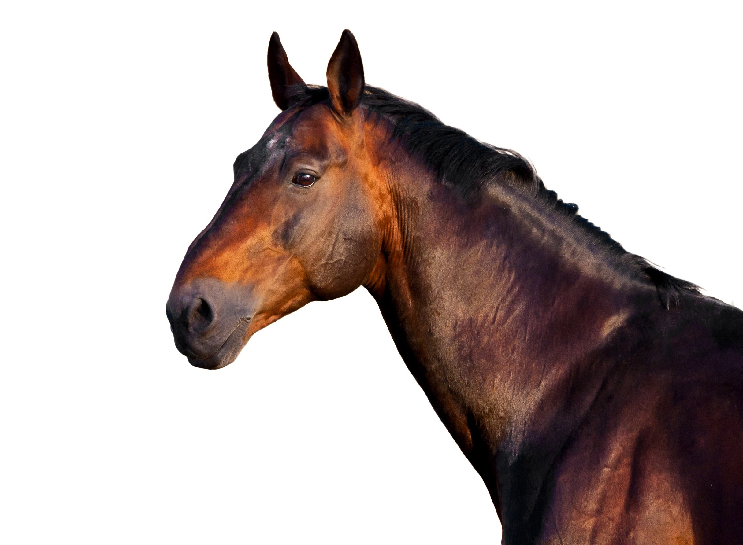 Portrait Of A Dark Brown Horse On A White Background Easibedding