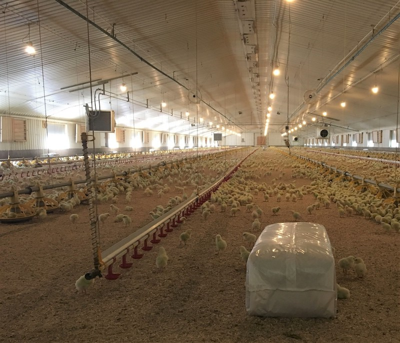 easichick dust free chicken bedding