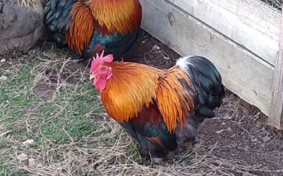Rawston Poultry joins the easichick team